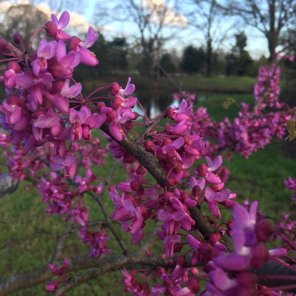 How I returned to writing. A Redbud tree near our back pond